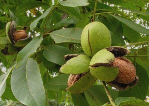 Богатый химический состав ядер грецкого ореха позволяет с успехом использовать их в лечебных и профилактических целях.
