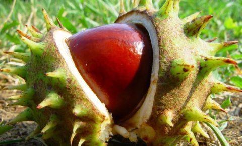 Именно плоды каштана содержат полезные компоненты в максимальной концентрации.