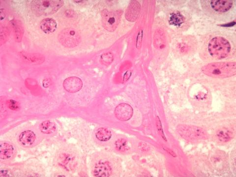 Клетки Лейдига (в центре)
