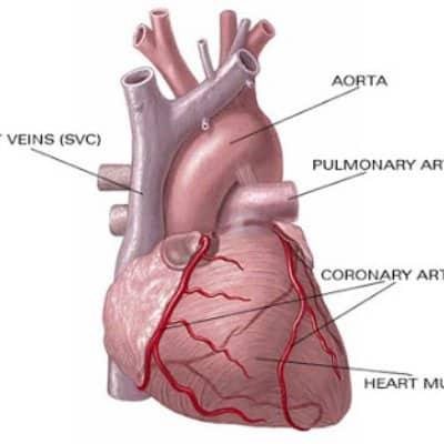 Коронарные артерии, питающие сердце