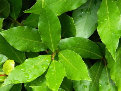 Представленные на фото листья лавра используются не только как ароматная приправа, но и в качестве исцеляющего и очищающего организм средства.