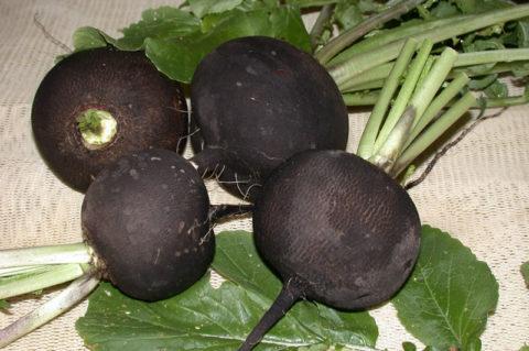 Редька – универсальный овощ, используемый для лечения и профилактики многих недугов.