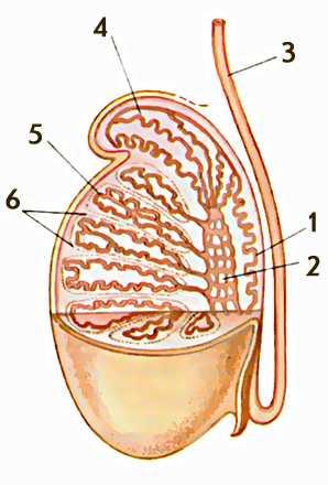 Схема мужского семенника