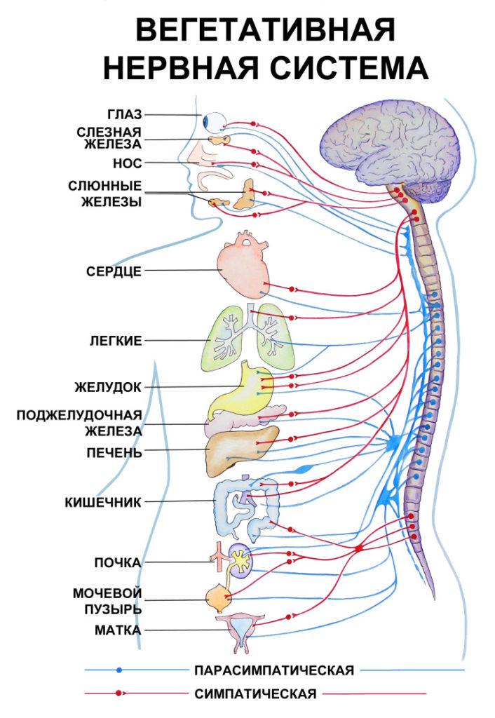 Большинство описываемых процессов регулируется ВНС (на фото – ее отделы)