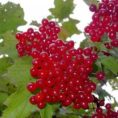 Спелые ягоды – смородина, калина, черноплодная рябина