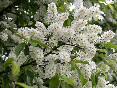 Удивительными целебными свойствами обладают даже самые привычные и широко распространенные растения, например, белая черемуха.
