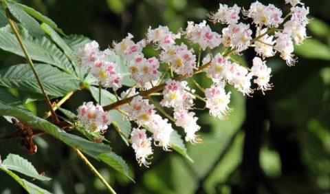 Укрепить сосуды и повысить их эластичность помогут цветы и плоды конского каштана.