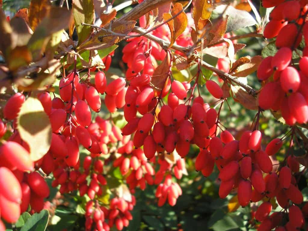 Лечебными свойствами обладают не только ягоды, но и кора, и корни барбариса (на фото).