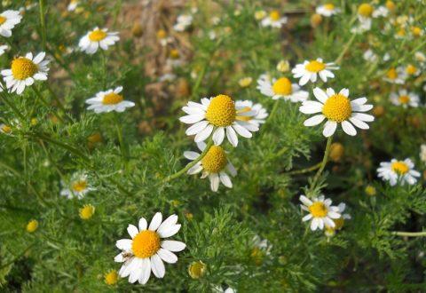 Для приготовления лекарства можно использовать как сухие, так и свежие цветы ромашки.