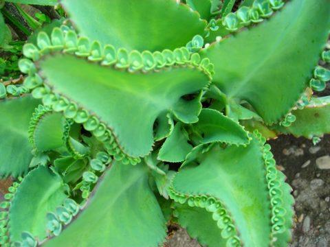 Для приготовления целебной настойки нужно выбирать зрелое растение.