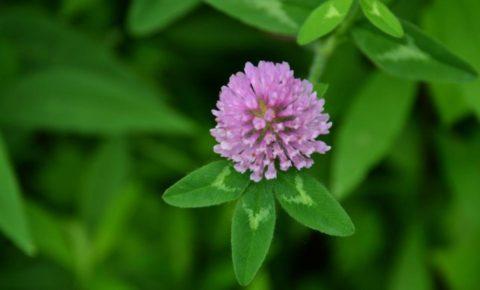 Готовить настойки из свежих соцветий клевера можно только в летний период.