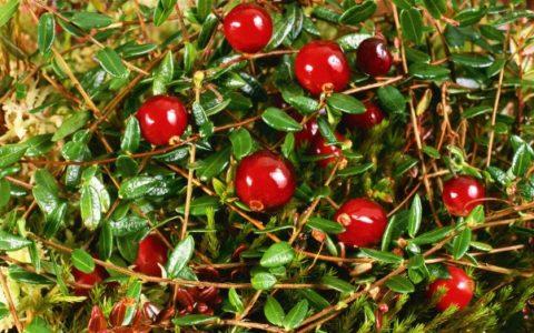Из клюквы можно приготовить вкусное, полезное и ароматное лекарство.