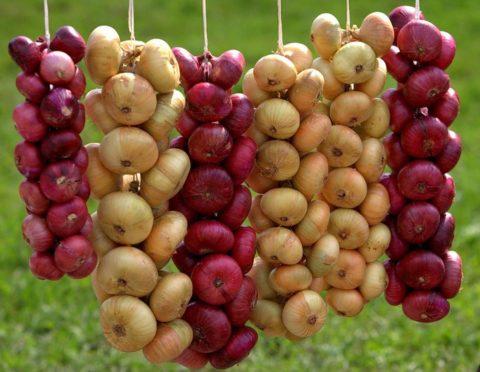 Лук ценный источник витаминов, аминокислот и микроэлементов