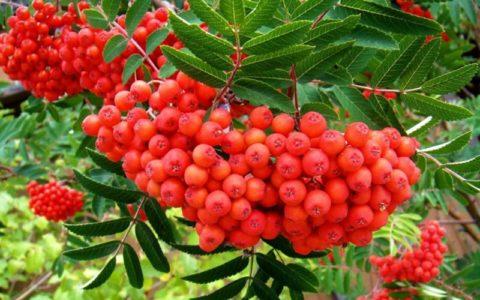 Плоды и кора рябины (на фото) – отлично укрепляют и повышают эластичность сосудов.