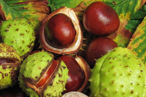 Плоды и цветы конского каштана эффективно лечат заболевания вен и сосудов.