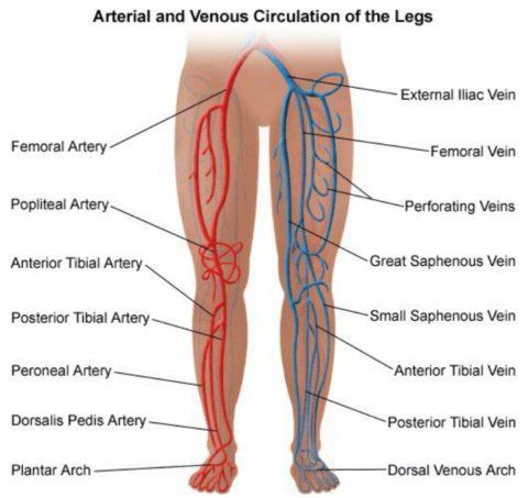 В НК расположены разветвленная артериовенозная сеть