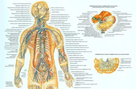 Компоненты лимфатической системы