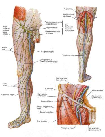 Крупнейшие лимфоузлы нижней конечности расположены в паховой области
