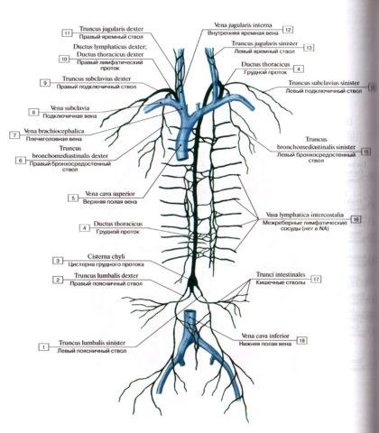 Крупные стволы и протоки лимфатической системы