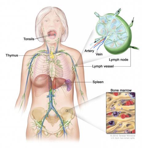 Органы лимфатической системы также относят к иммунным