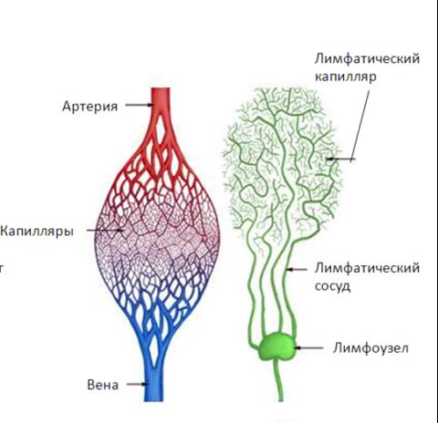 Отличия периферических отделов кровеносной и лимфатической систем