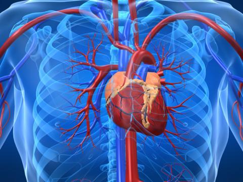Семена кедра положительно влияют на сердечно-сосудистую систему