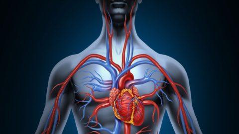Сердце – не единственный орган, контролирующий кровоснабжение тканей.