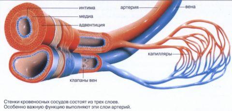 Схематическое изображение артериальной и венозной систем кровообращения.