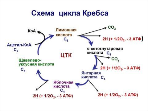 Цикл Кребса – механизм получения энергии в организме
