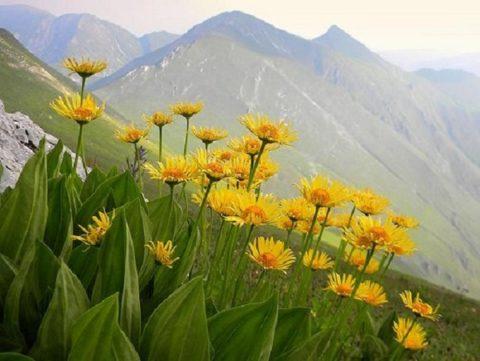 Цветы горной арники.