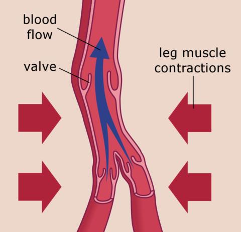 Влияние мышечной компрессии на вены голени.