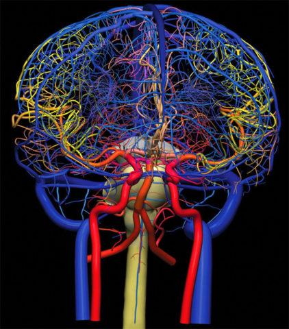 Артерии и вены головного мозга и шеи