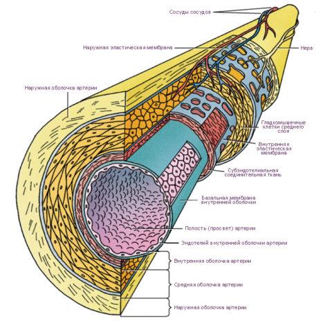 Гистологическое строение сосуда.