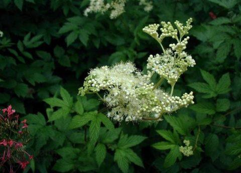 Лабазник вязолистный (таволга) – растение-салицилат от 40 болезней