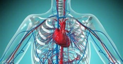 Сердечно-сосудистая система