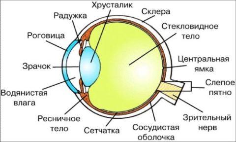Зрительные анализаторы
