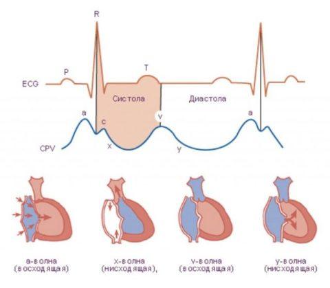 На венозное давление влияет: возраст, состояние покоя/движения, объем циркулирующей крови и прочие