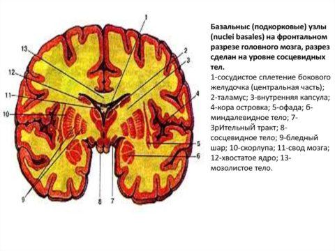 Граница зрительного бугра и головки хвостатого ядра – одно из мест локации псевдокист