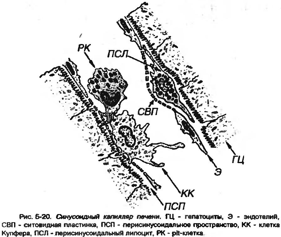Синусоидные или синусоиды